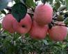 大荔红富士苹果